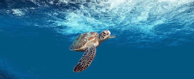Buceo con una tortuga verde