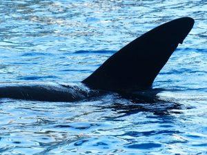 Orca en el medio subacuático