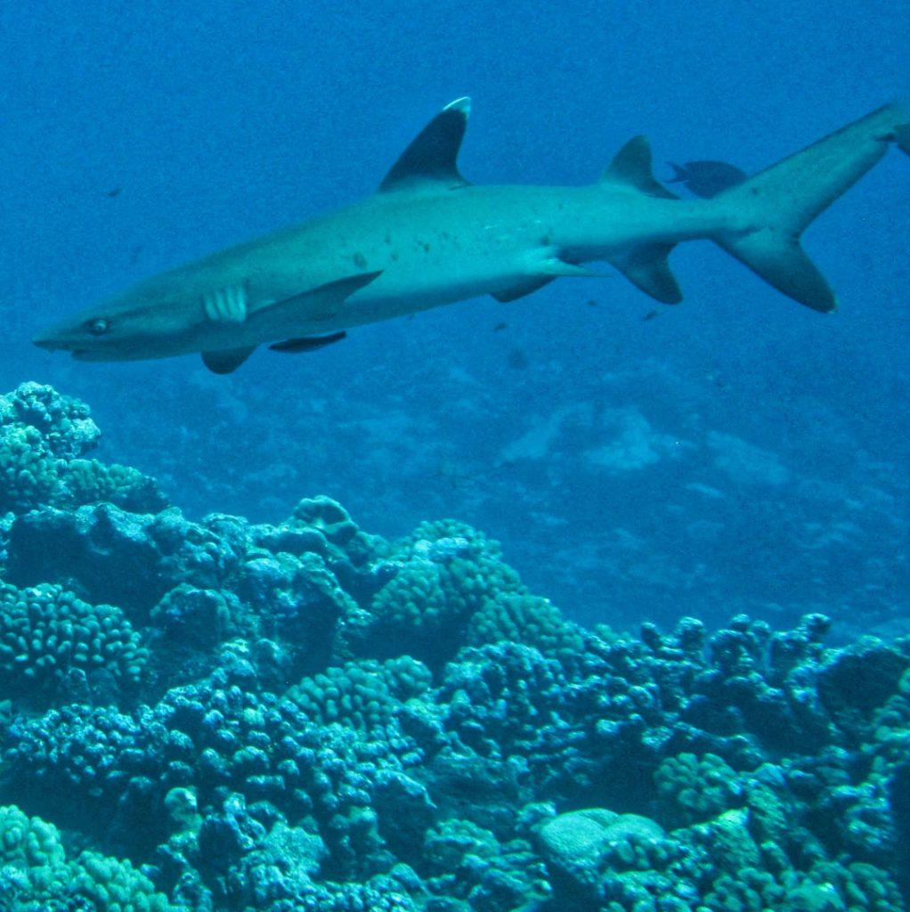 Tiburones en Rangiroa