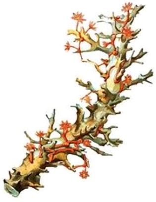 Accidente por coral venenoso