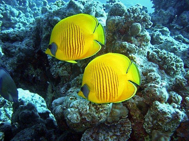 Coral venenoso